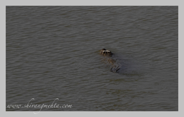 Crocodile swimming in the Ramganga