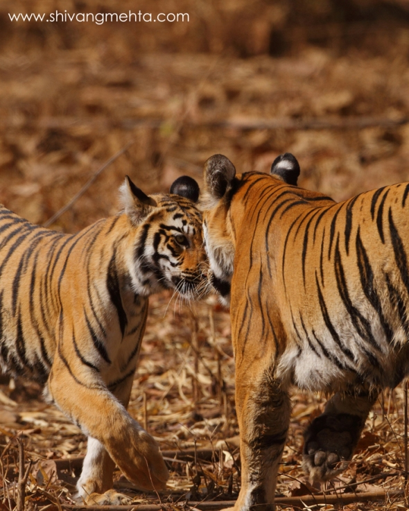The Panderpauni tigress (who died recently) with the male cub