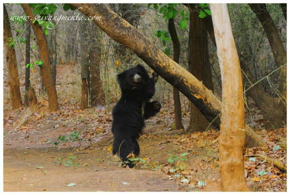 Sloth bear in Bandhavgarh