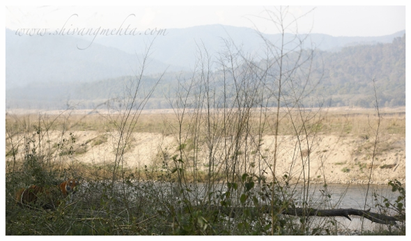 Tiger in Corbett Landscape