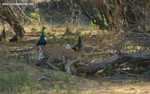 Leopard and peacocks yala