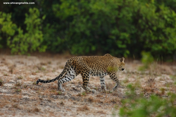 Leopard on white sand in Wilpattu